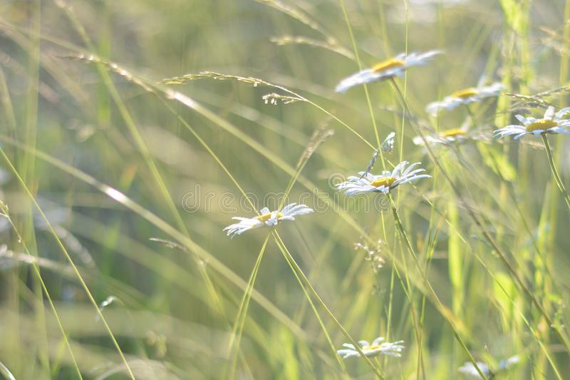 Nature background with chamomile, field grass. Meadow morning. Lawn in the sunlight. Soft focus. Sunrise or sunset stock photo