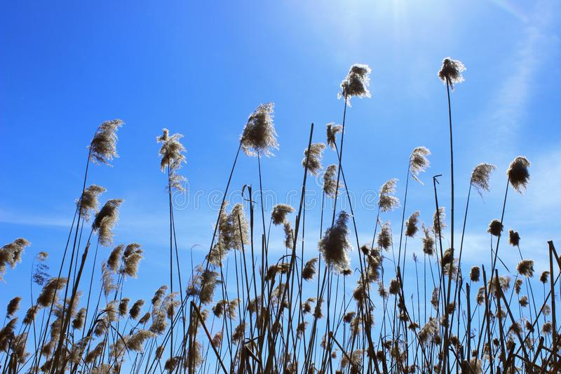 Plants Over Blue Sky. Sunny Day. Swamp Grass. Nature Background, Close-Up. Plants Over Blue Sky. Sunny Day. Swamp Grass. Swamp Nature royalty free stock images