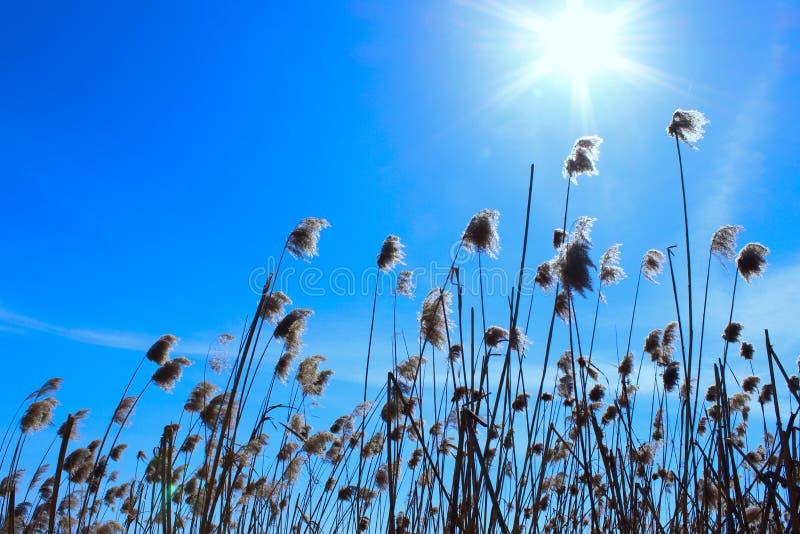 Plants Over Blue Sky. Sunny Day. Swamp Grass. Nature Background, Close-Up. Plants Over Blue Sky. Sunny Day. Swamp Grass. Swamp Nature royalty free stock photo
