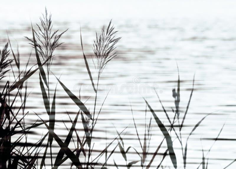 Nature background with coastal reed royalty free stock image