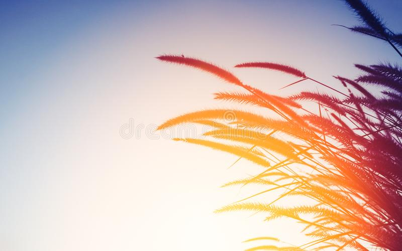 Nature background concept - silhouette of grass flower in sunset royalty free stock photography