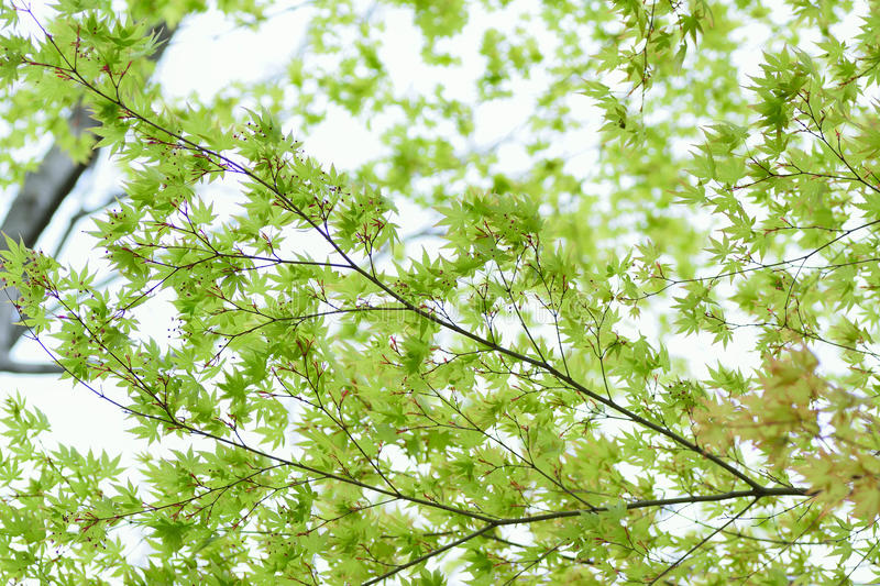 Nature background of fresh green Japanese Maple leaves in horizontal frame royalty free stock images