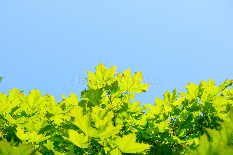 Nature background with green leaves of maple on blue sky stock image