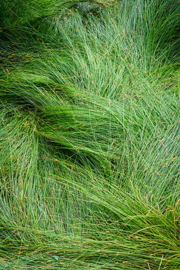 Nature background of green sedge grasses in pattern and texture stock images