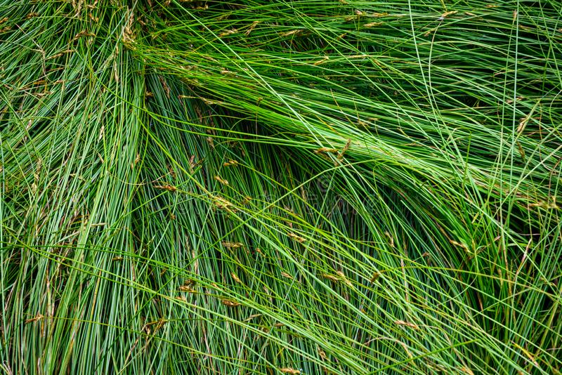 Nature background of green sedge grasses in pattern and texture stock photos