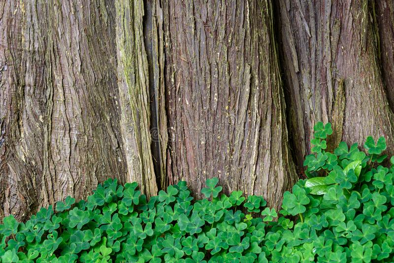 Nature background of Oxalis, shamrocks, growing at the base of a large cedar tree, pattern and texture in green and brown royalty free stock photography