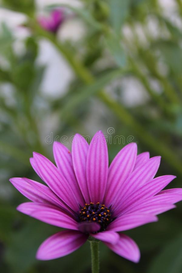 Shallow focus photography of purple flower - purple flower on a green background. Nature background - Shallow focus photography of purple flower - purple flower royalty free stock photos