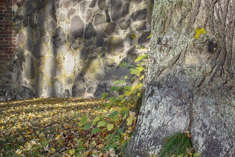 Nature background with a tree trunk and autumn leaves,. Closeup of tree trunk with autumn leaves and an old stone wall in the backgound stock image