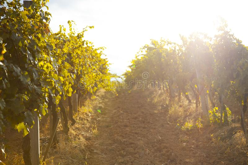 Nature, background,with Vineyard in autumn harvest. Ripe grapes in fall.  royalty free stock image