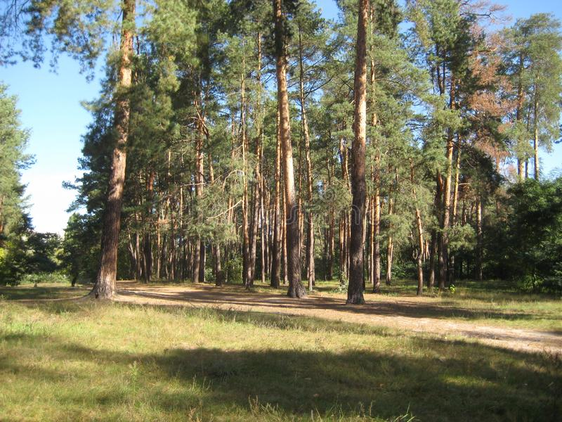 walk in the forest in early autumn royalty free stock photo