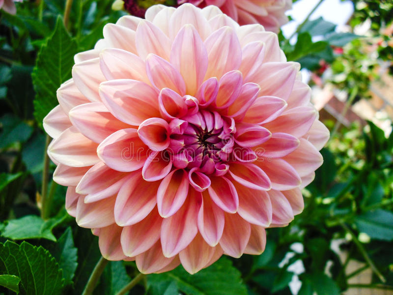 Nature Beautiful Summer Pink Flower royalty free stock photos