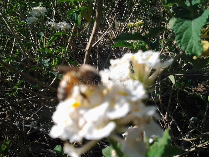 Nature bee honey flowers works busy royalty free stock photo