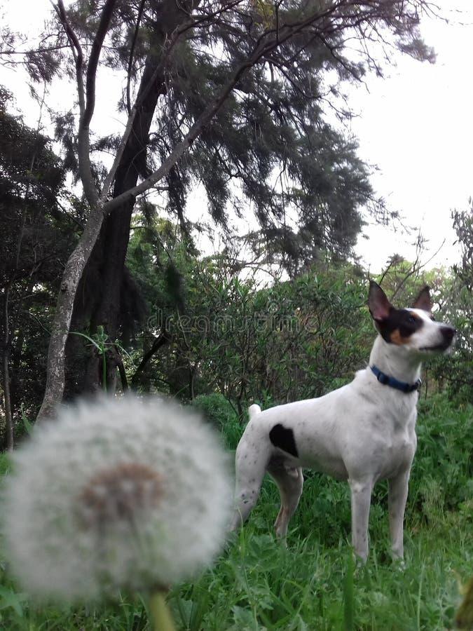 Nature blanche de chien de pissenlit image libre de droits