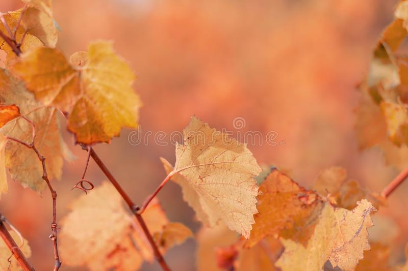 Nature blurred background. Autumn leaves of grapes. Shallow depth of field. Orange Toned image. Copy space. Art photography. royalty free stock images