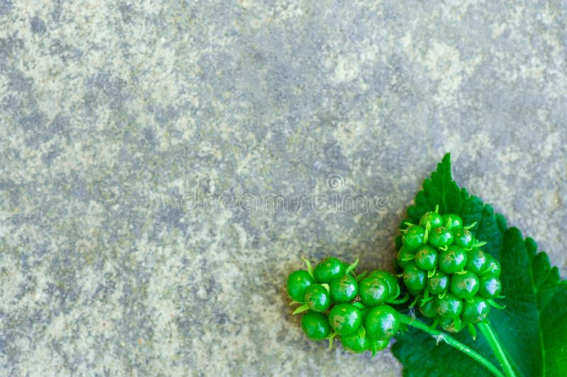 Nature botanical background. Green wild forest berries on gray stone backdrop. Natural organic cosmetics wellness concept. royalty free stock photography
