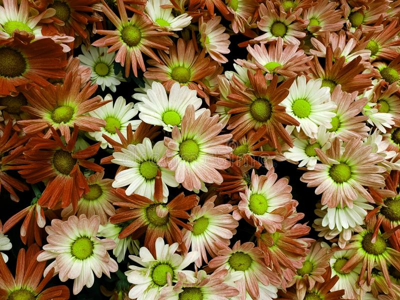 Brown daisy flower with white in a botanical garden. Nature and botany, flora and natural life, flower petals with intense colors for garden and park decoration royalty free stock image