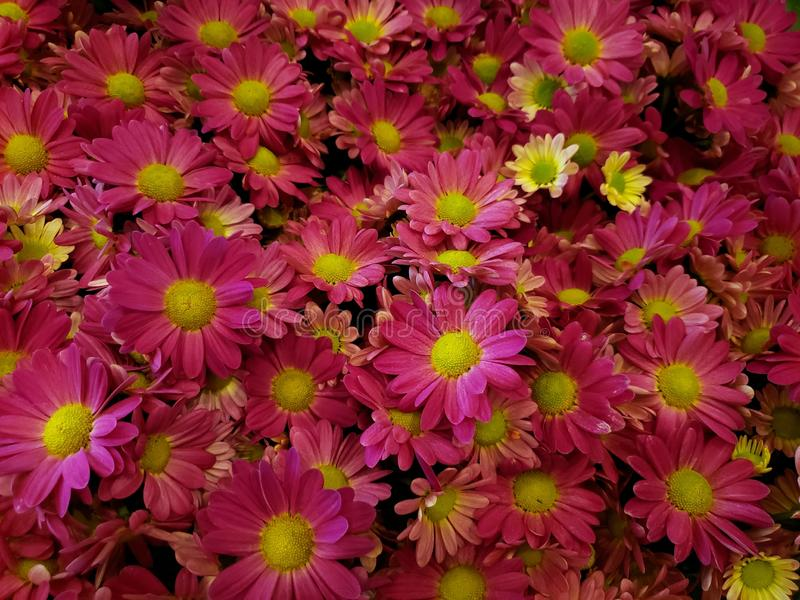 lot of pink daisy flowers in s garden in spring season, background and texture royalty free stock photo