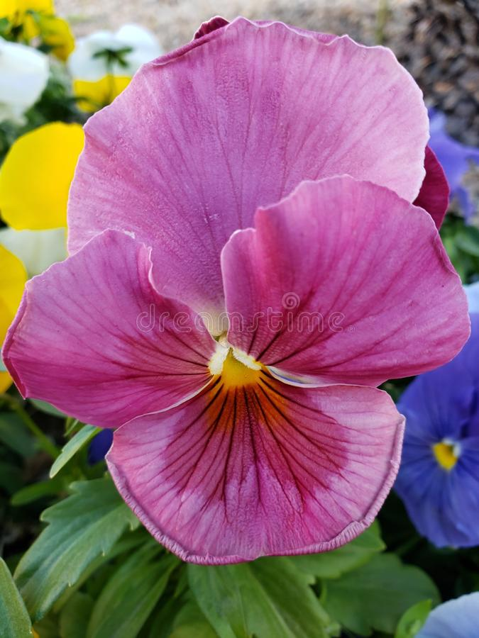 Purple pansy flower in a garden in winter season. Nature and botany, flora and natural life, viola tricolor hortensis, flower petals with intense colors for royalty free stock photos