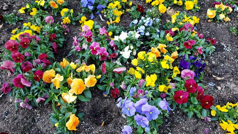 Variety  of pansy flower in a garden in winter season. Nature and botany, flora and natural life, viola tricolor hortensis, flower petals with intense colors for royalty free stock photos