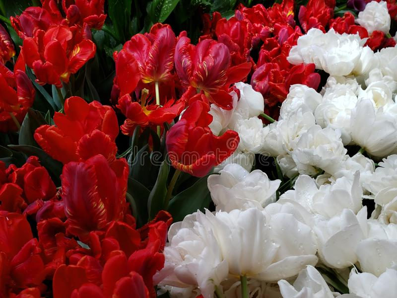Red and white tulip flowers in a garden in spring season. Nature and botany, flora and natural life, viola tricolor hortensis, flower petals with intense colors stock images