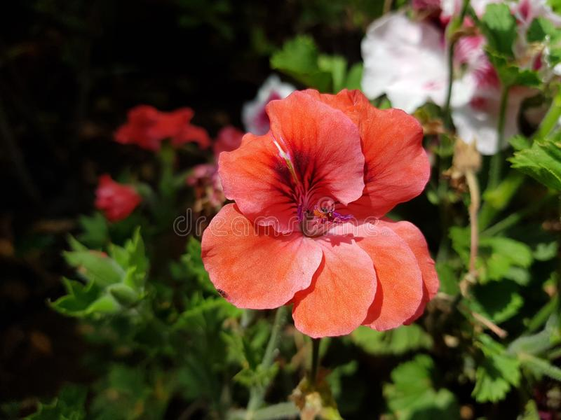 Orange geranium flower in a garden. Nature and botany, natural flower with colorful petals for garden decoration stock image