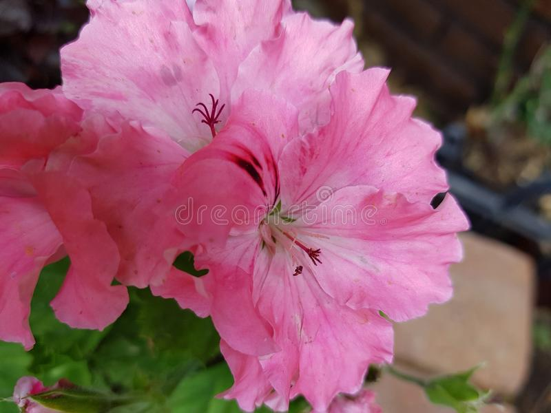Pink geranium flower in a garden. Nature and botany, natural flower with colorful petals for garden decoration stock photography