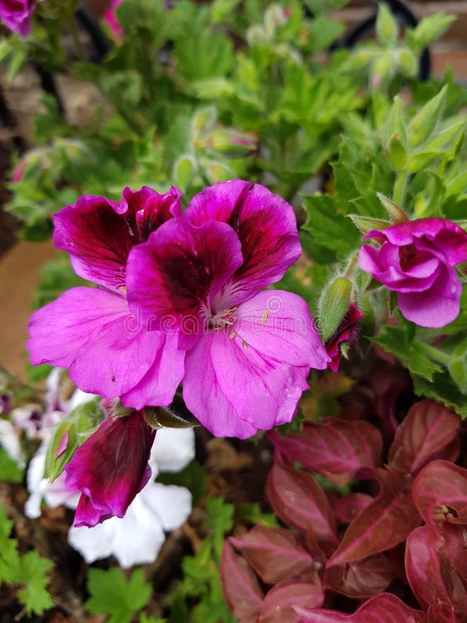 Pink geranium flower with purple in a garden. Nature and botany, natural flower with colorful petals for garden decoration stock image