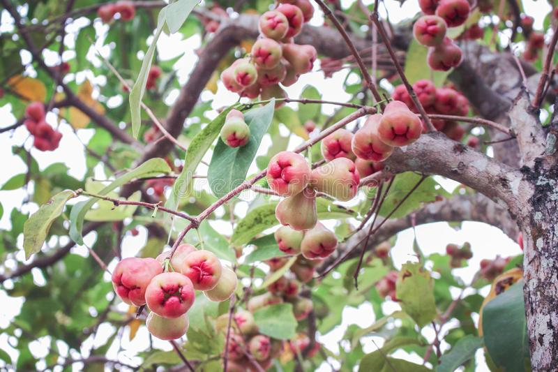 Nature bunch of rose apple group hanging on tree , colorful tropical fruits. Close up Nature bunch of rose apple group hanging on tree , colorful tropical fruits stock image