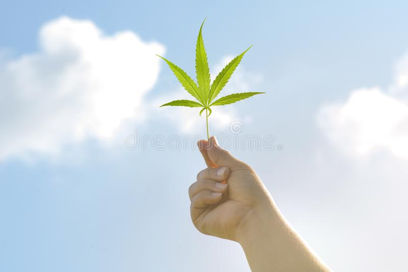 Nature of Cannabis leaf against the sky. hand holding a marijuana leaf on blue sky. Background of the theme of legalization and stock photography