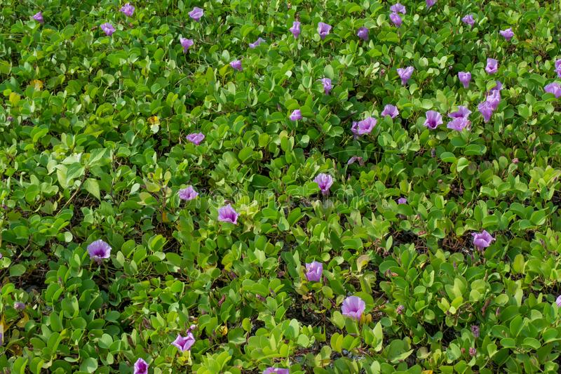 Nature carpet from light purple flowers and green leaves stock photography