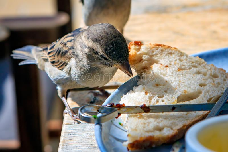 Nature in the city, a cheeky house sparrow eats along with the food on the table. Enjoying lunch on a terrace in the city, a cheeky house sparrow eats the food royalty free stock photography