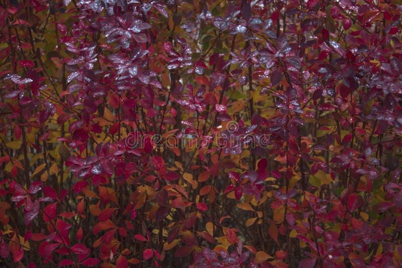 Nature comme texture Arbuste dans des couleurs stupéfiantes d'automne photos libres de droits