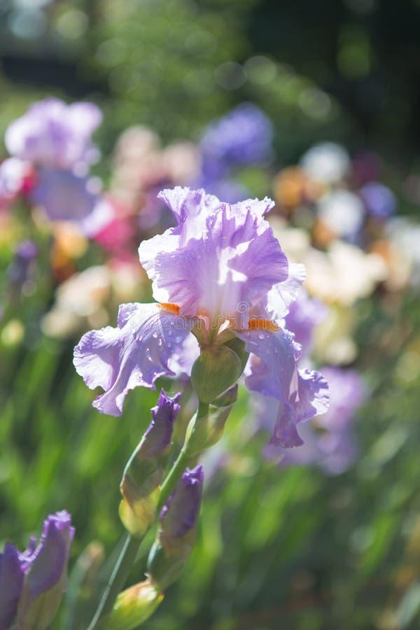 German iris Iris barbata, close up of the flower head, Nature concept - beautiful spring or summer landscape stock photo