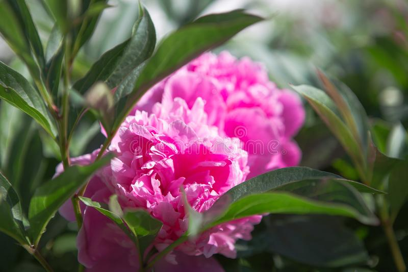 Nature concept - beautiful spring or summer landscape with Pink peony flower on green leaves background. Pink peonies in the garde stock image