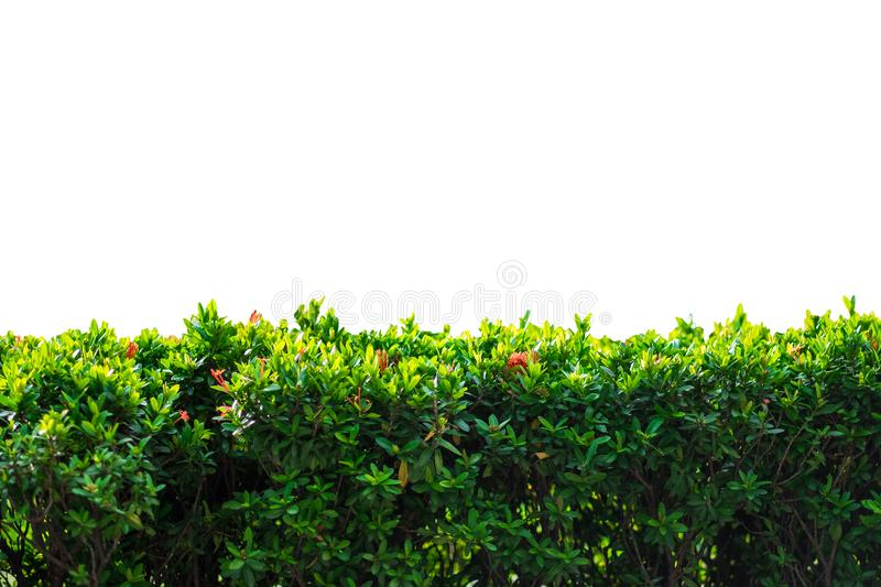 Nature concept isolated green bush on white background stock photo