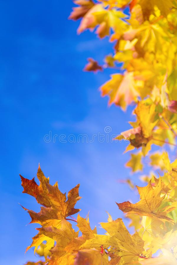 Nature Concepts. Autumn Yellow- Red Maple Leaves Placed as a Frame Against Blue Sky Background. Fall Themes.Vertical Image royalty free stock photo