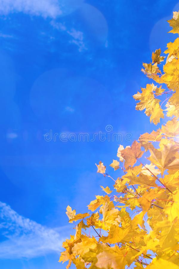 Nature Concepts. Autumn Yellow- Red Maple Leaves Placed as a Frame Against Blue Sky Background. Fall Themes. Vertical Image Composition stock photo