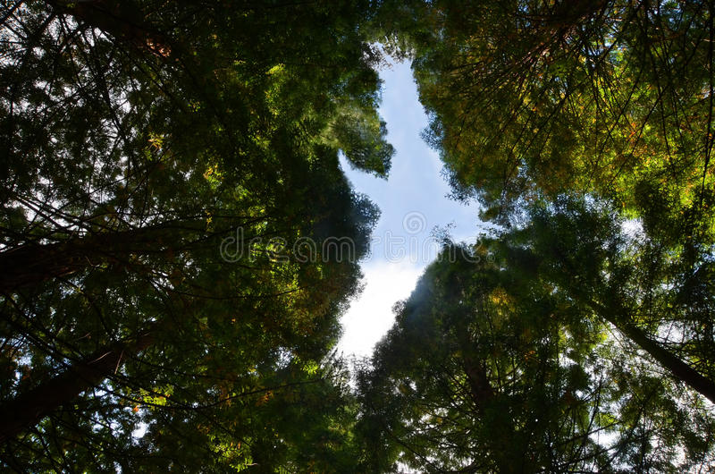 Nature creation. Summits of sequoia trees creating the shape of a great bird up in the sky