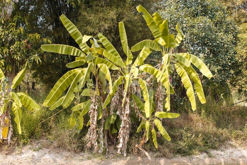 Nature d'arbre de détail de bananier photo libre de droits