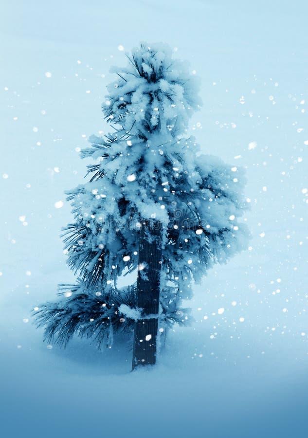 Nature d'hiver, pin isolé dans la neige photo libre de droits