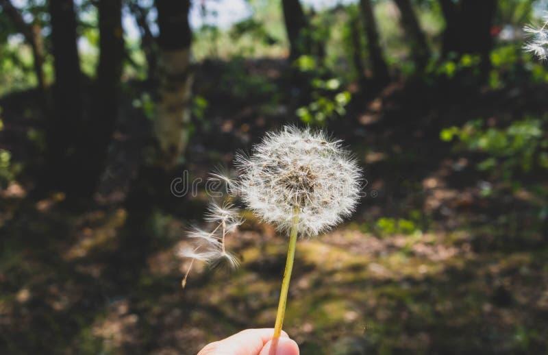 Nature de fleur de fond de sammer de pissenlit photographie stock