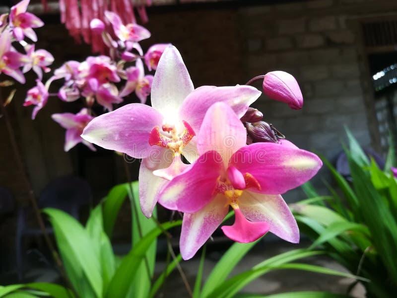 Nature de fleur de Pin And White Mix Color d'orchidée de Sri Lanka images stock