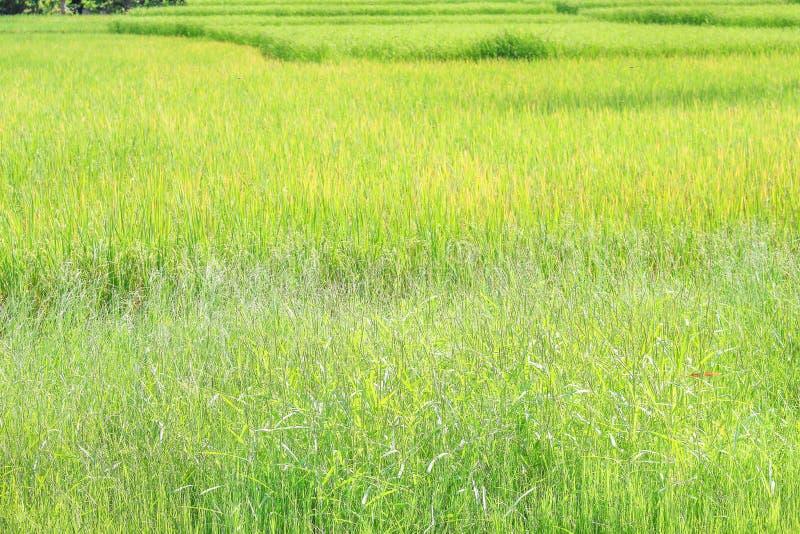 Nature de paysage de grand gisement de riz en Thaïlande image stock