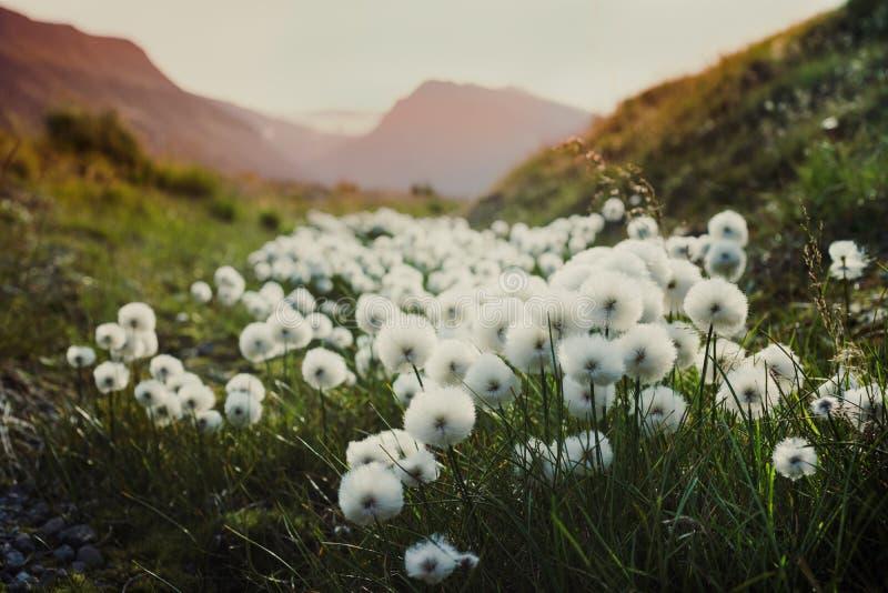 Nature de paysage de la Norvège des montagnes du Spitzberg Longyearbyen le Svalbard un jour polaire avec les fleurs arctiques dan image stock