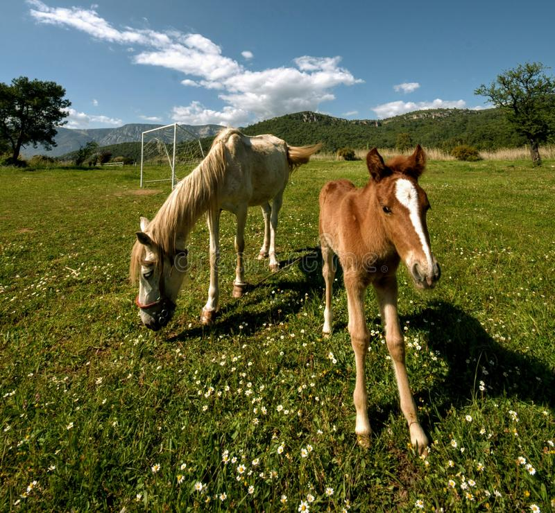 Nature de ressort de nutrition de pré de poulain de cheval photos stock