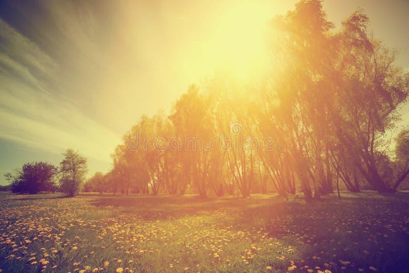 Nature de vintage Parc, arbres et pissenlits ensoleillés de ressort images libres de droits