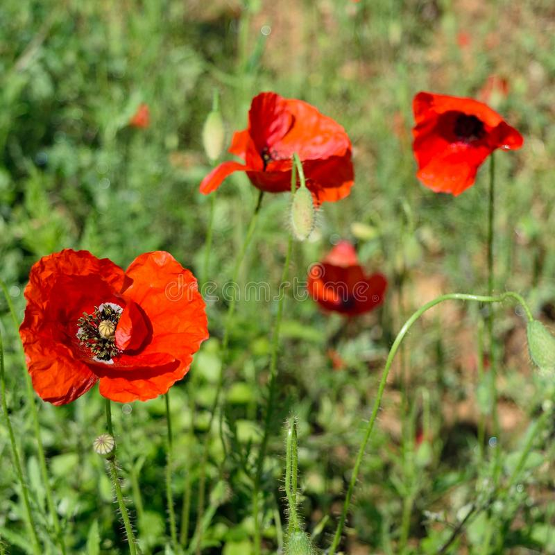 Spring Time of poppies royalty free stock photography