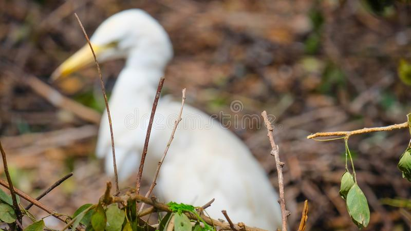 White bird  face side view with blur background. The nature of the forest and the backdrop of white birds are blurred. Blur images royalty free stock photos