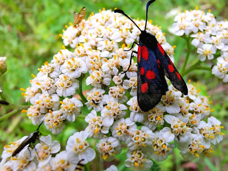 Mourning butterfly. stock image