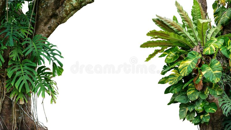 Nature frame of jungle trees with tropical rainforest foliage plants climbing Monstera, bird's nest fern, golden pothos and royalty free stock image